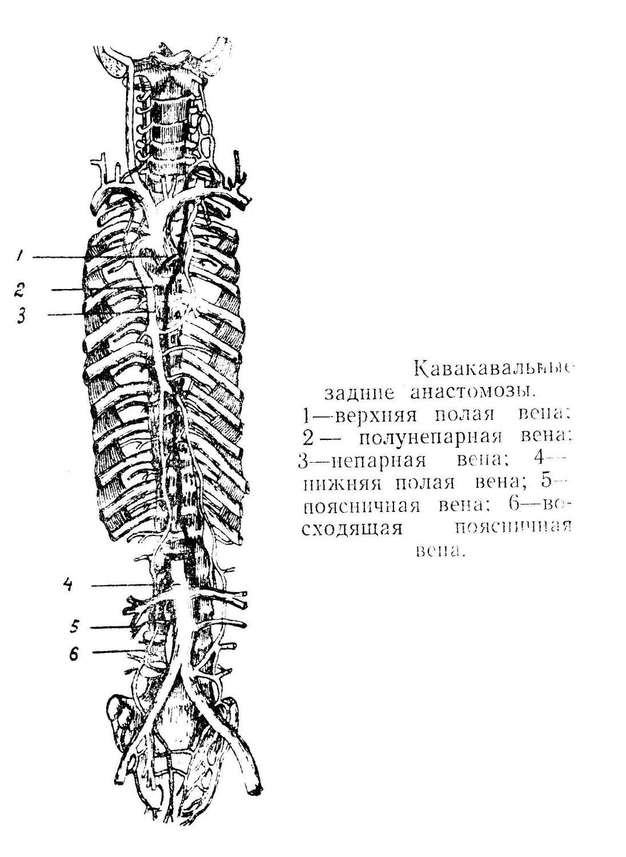 Кавакавальные задние анастомозы