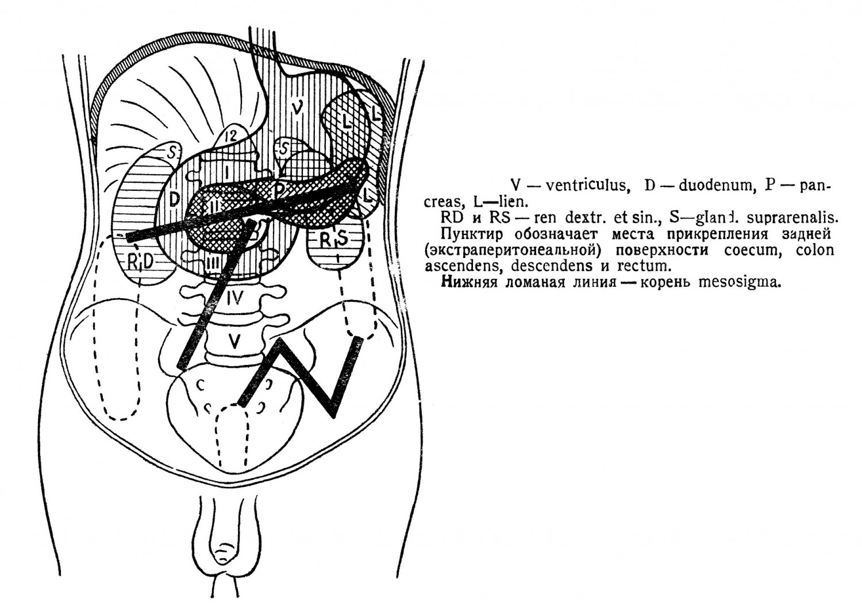 Брыжжейкой тонких кишек нижний отдел брюшной полости делится на два подотдела: правую и левую кишечные пазухи