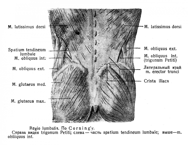 Regio lumbalis. По Corning'y - Справа виден trigonum Petiti; слева — часть spatium tendineum lumbale; выше—m. obliiquus int.