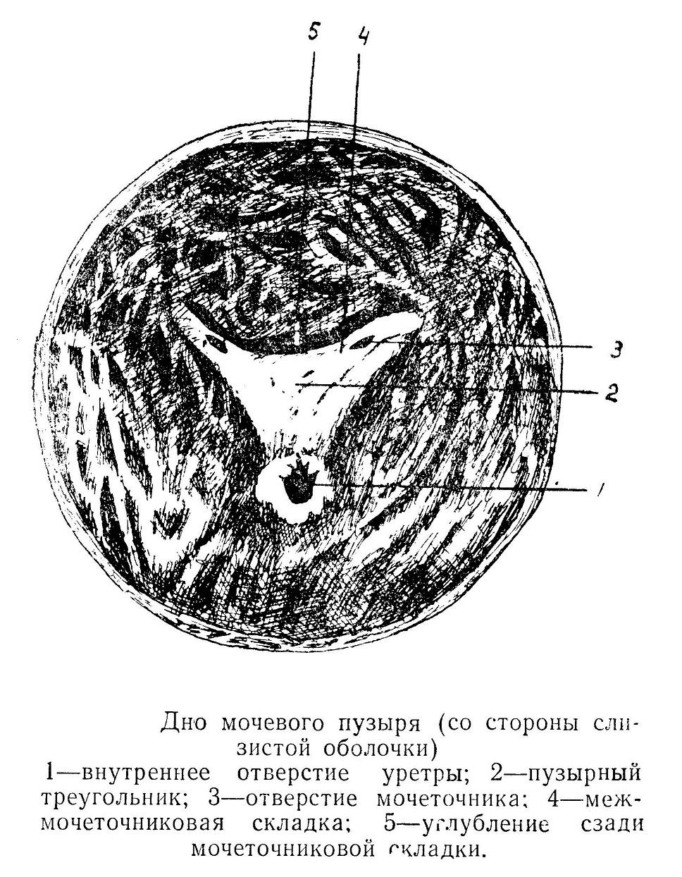 Дно мочевого пузыря (со стороны слизистой оболочки)