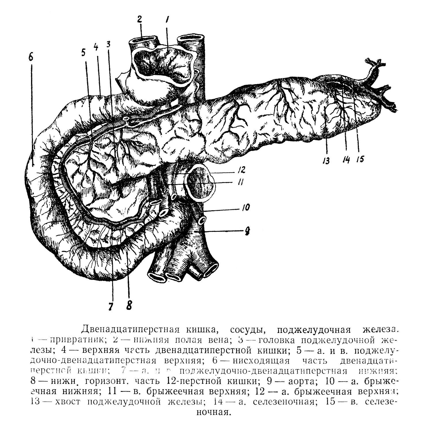 Двенадцатиперстная кишка, сосуды, поджелудочная железа