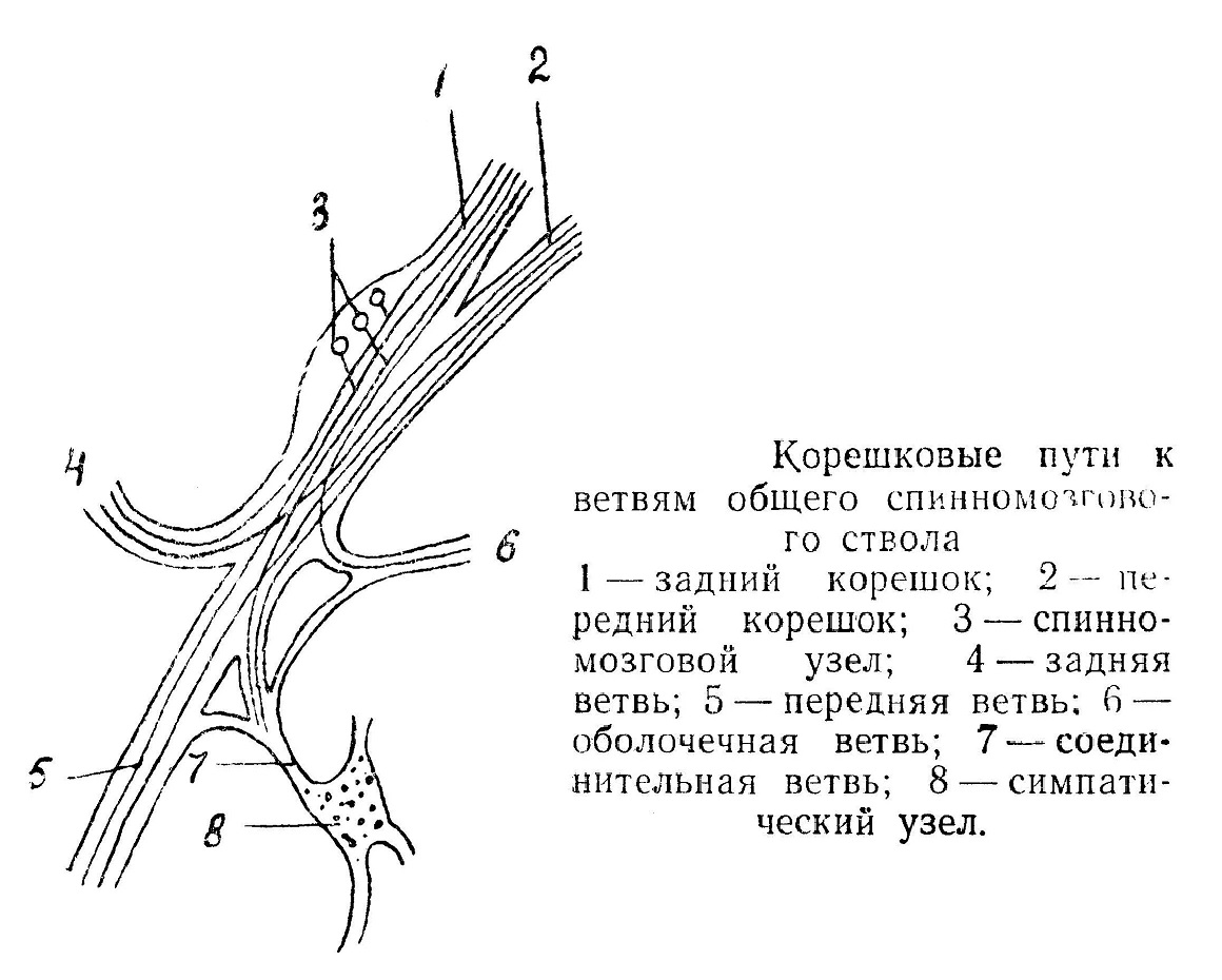 Корешковые пути к ветвям общего спинномозгового ствола