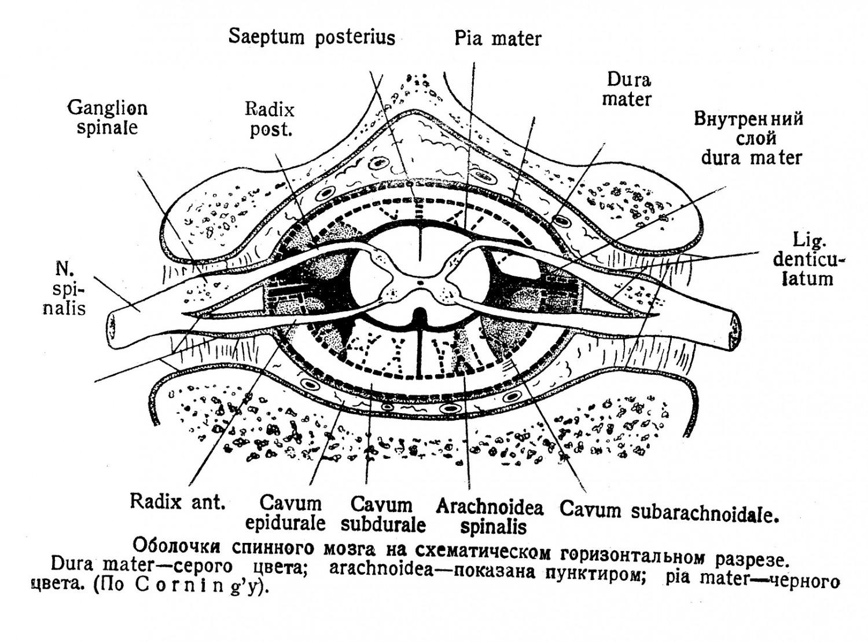 Оболочки спинного мозга на схематическом горизонтальном разрезе