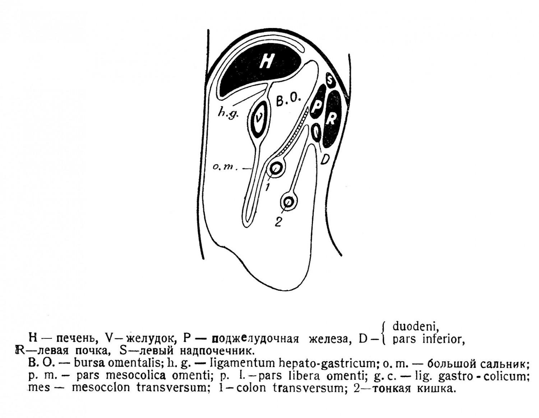 большой сальник имеет щелевидную полость — продолжение вниз bursa omentalis