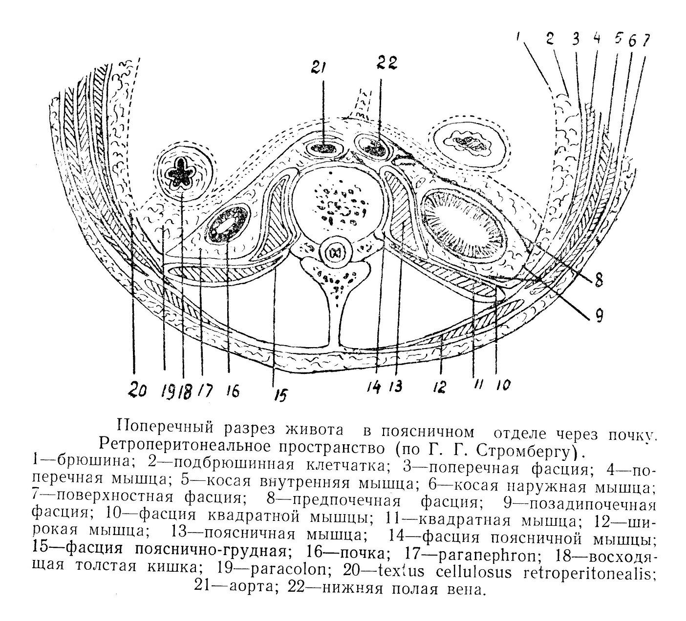 Ретроперитонеальное пространство (по Г. Г. Стромбергу).