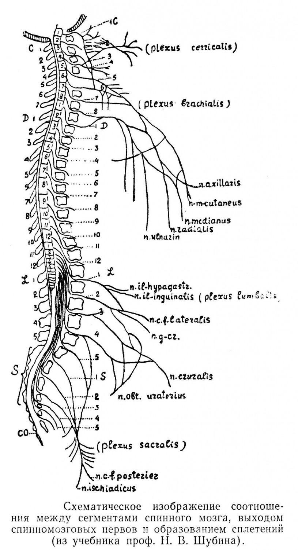 Схематическое изображение соотношения между сегментами спинного мозга, выходом спинномозговых нервов и образованием сплетений (из учебника проф. Н. В. Шубина).