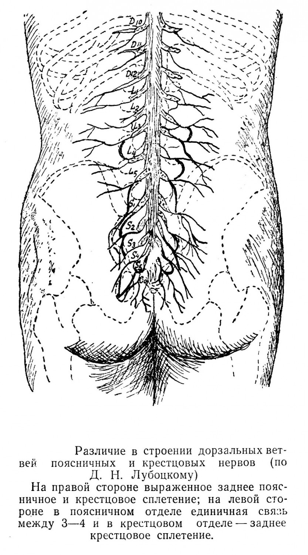 Различие в строении дорзальных ветвей поясничных и крестцовых нервов (по Д. Н. Лубоцкому) На правой стороне выраженное заднее поясничное и крестцовое сплетение; на левой стороне в поясничном отделе единичная связь между 3—4 и в крестцовом отделе — заднее крестцовое сплетение.