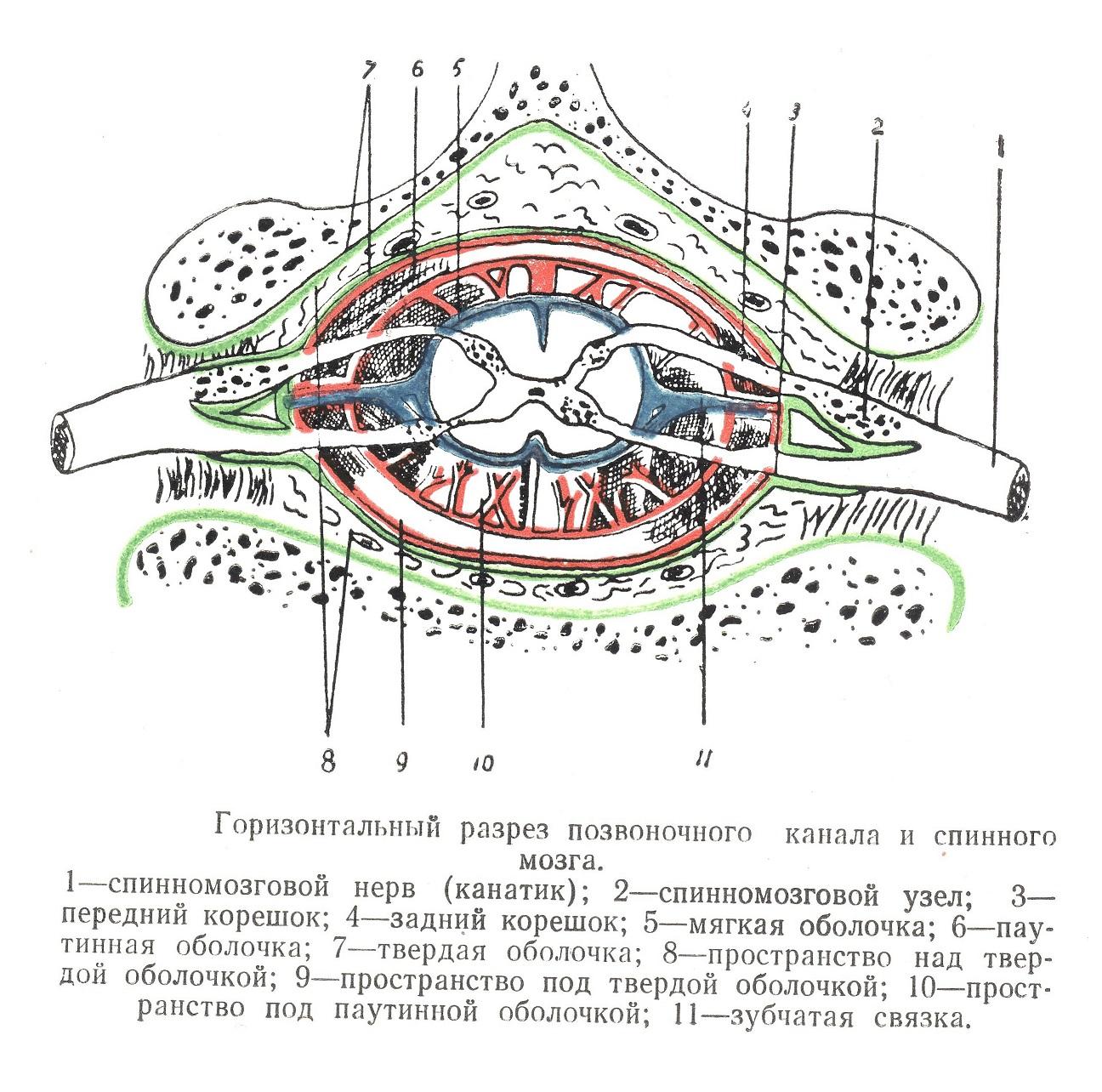 Горизонтальный разрез позвоночного канала и спинного мозга