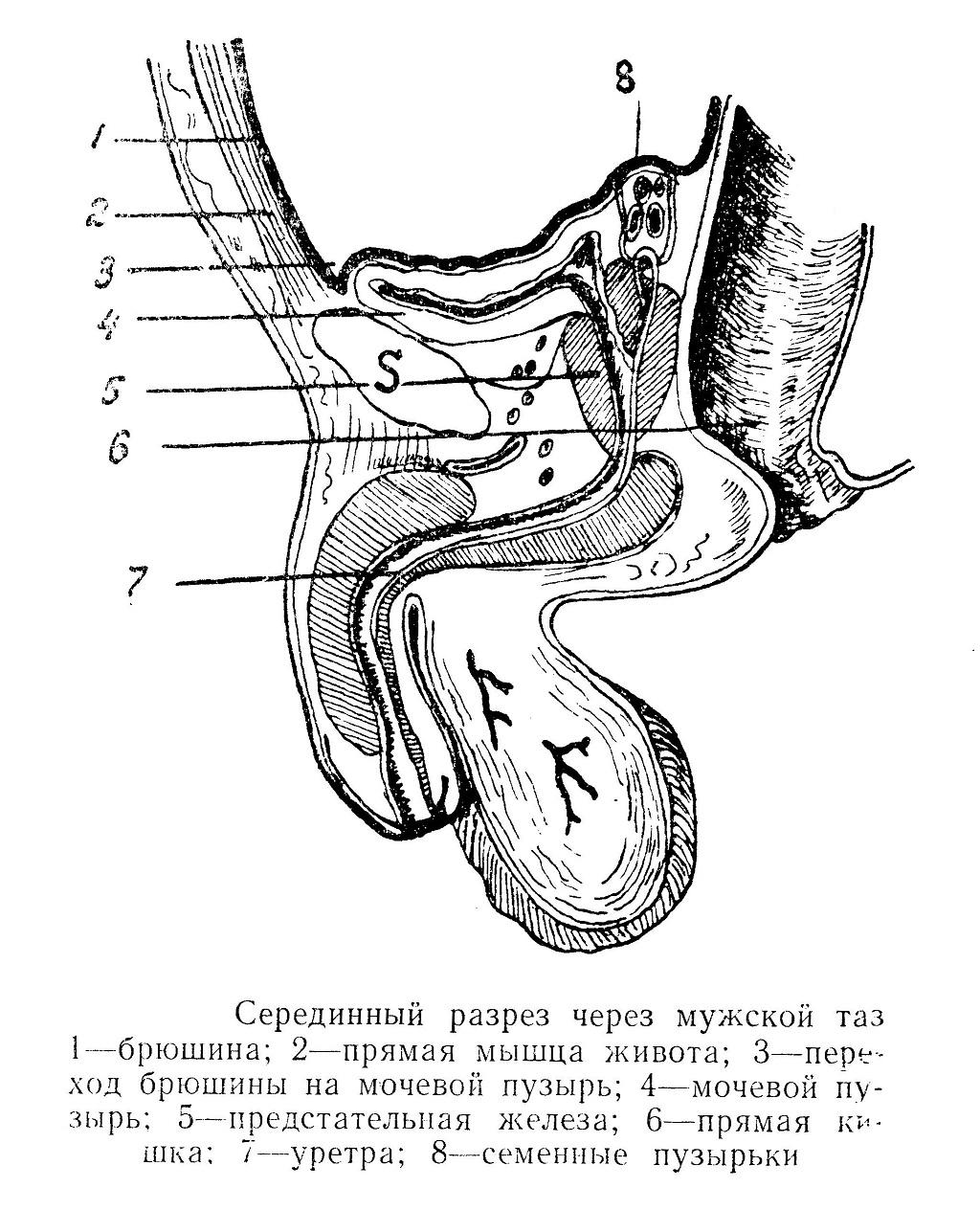 Серединный разрез через мужской таз