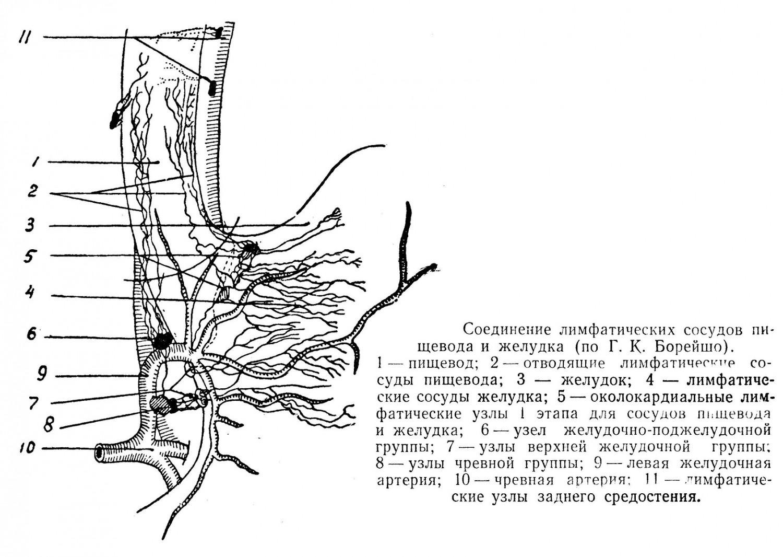 Общие лимфатические узлы для сосудов пищевода и желудка