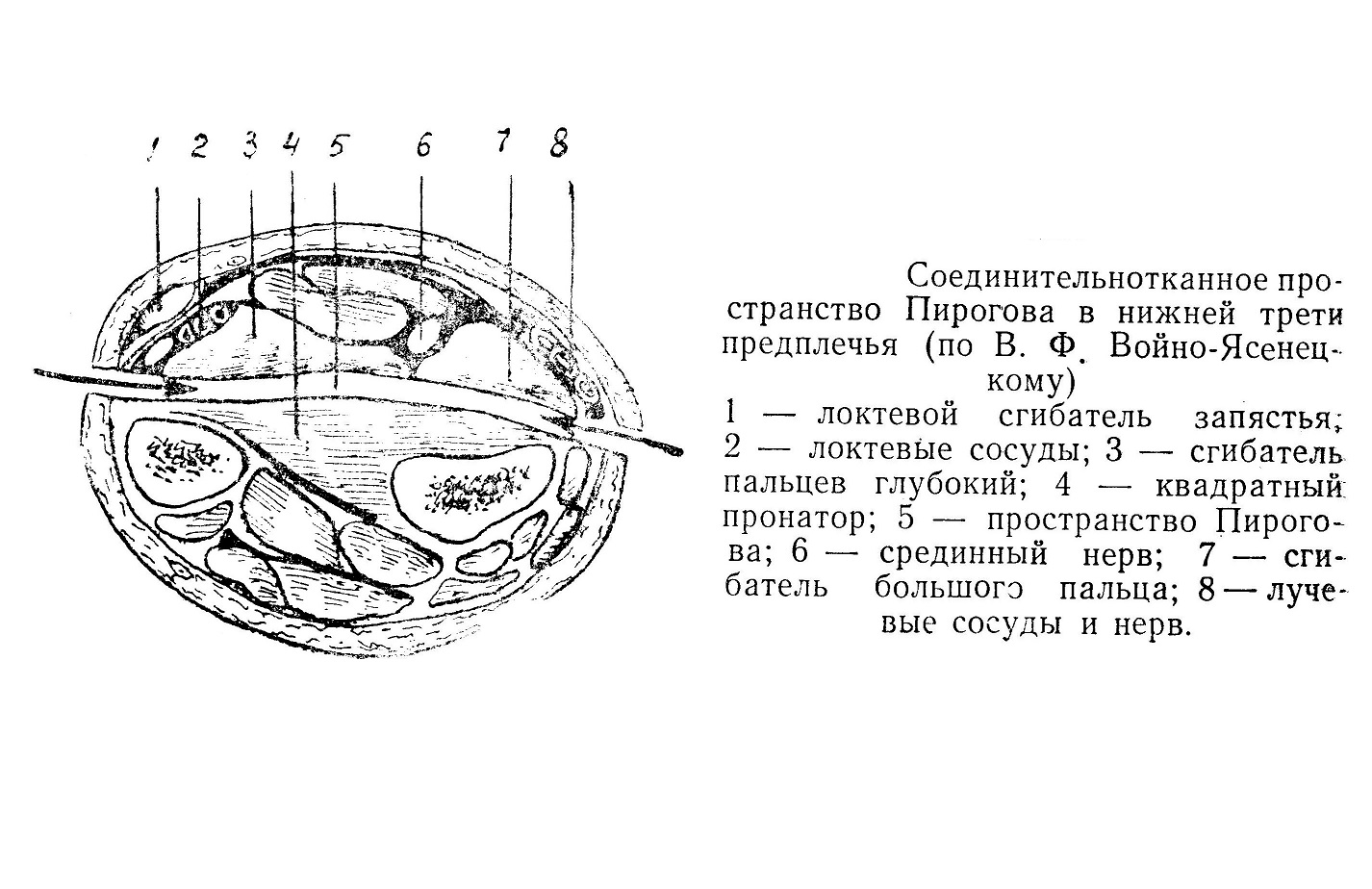 Соединительнотканное пространство Пирогова в нижней трети предплечья