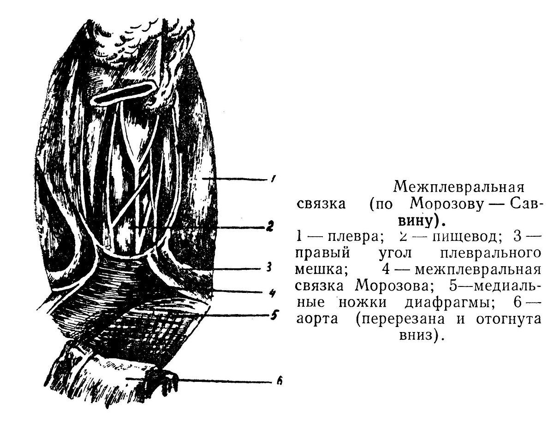 Межплевральная связка (по Морозову — Саввину).