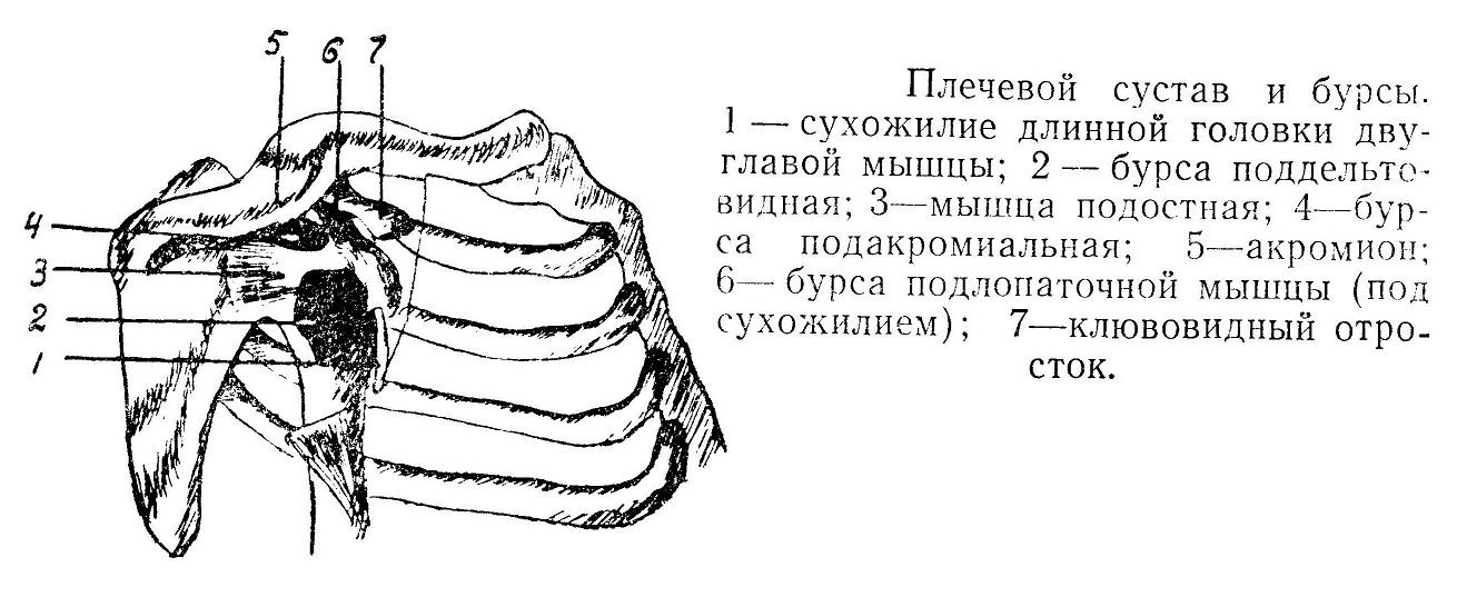 Плечевой сустав и бурсы