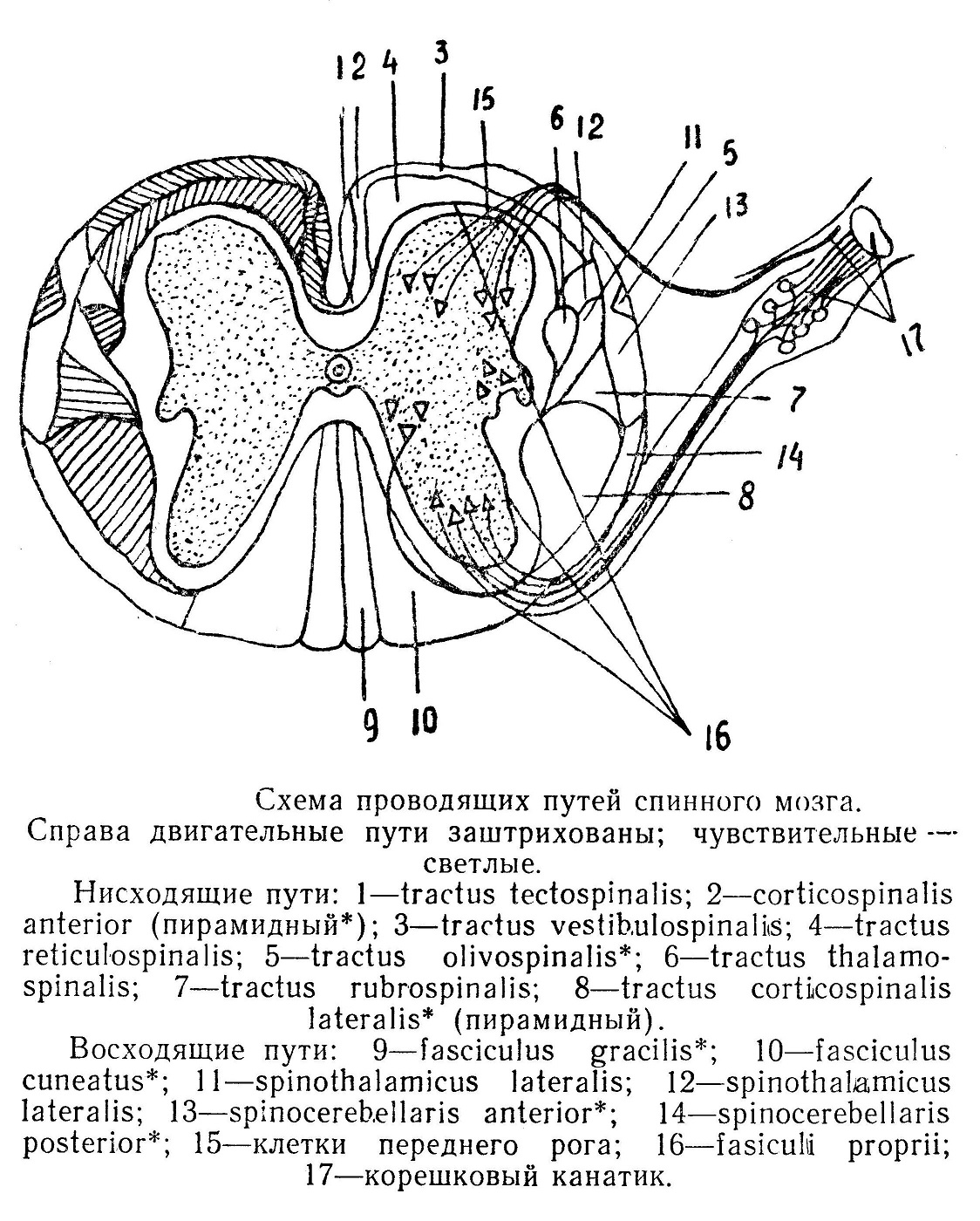 Схема проводящих путей спинного мозга. Справа двигательные пути заштрихованы; чувствительные — светлые.