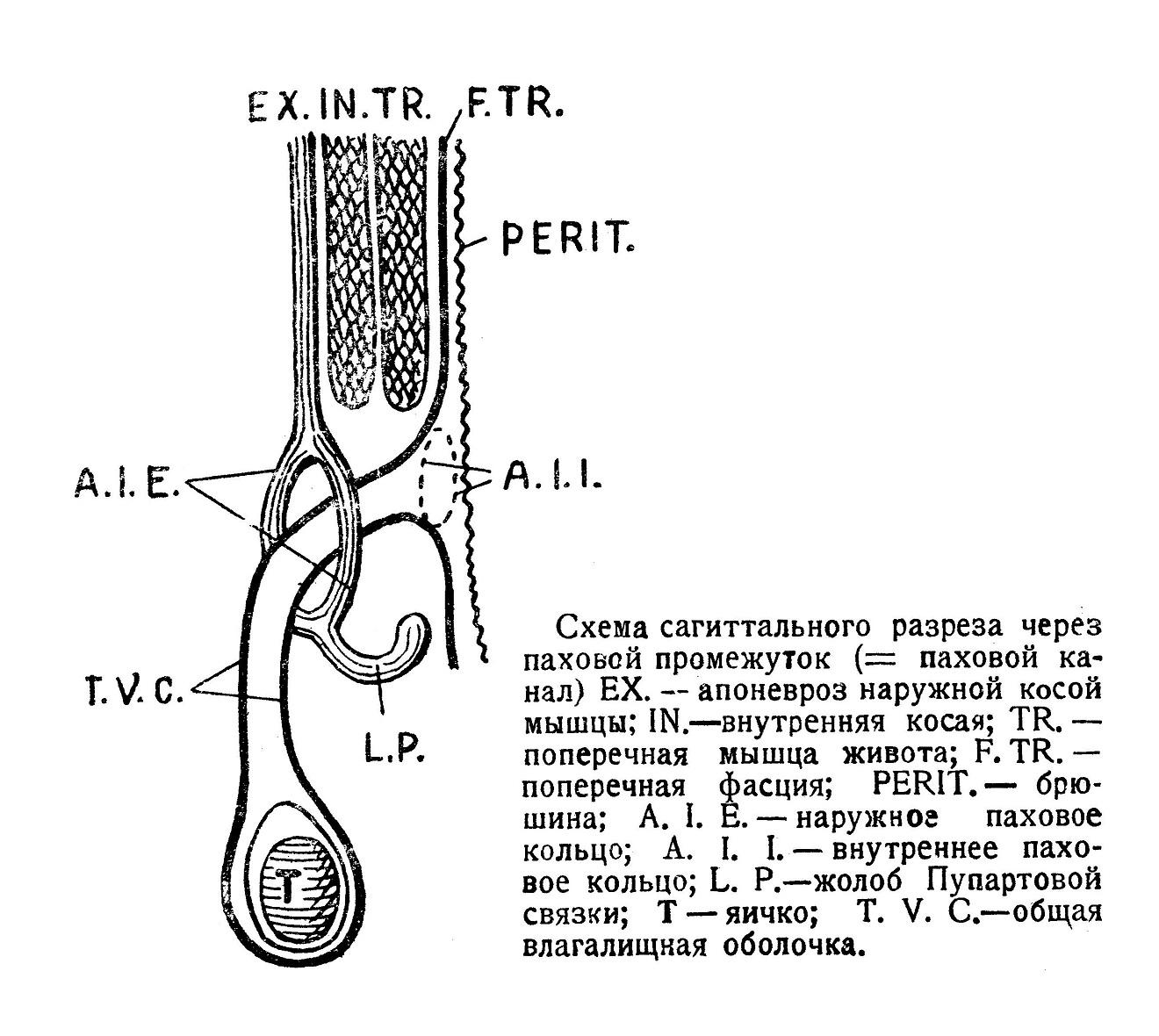 Схема сагиттального разреза через паховой промежуток