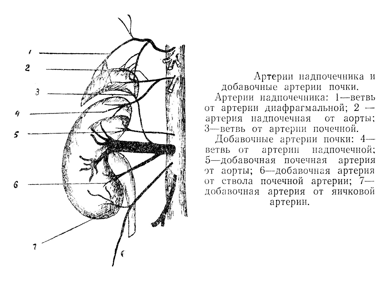 Артерии надпочечника и добавочные артерии почки.