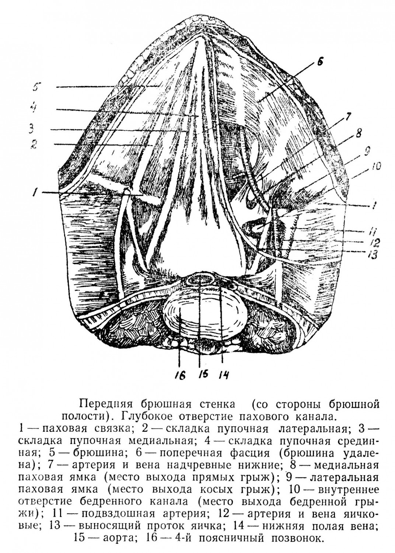 Передняя брюшная стенка (со стороны брюшной полости).