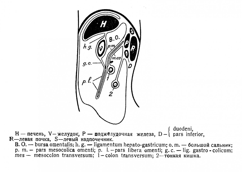 часть большого сальника, входящая у человека в состав mesocolon, получает название pars mesocolica omenti