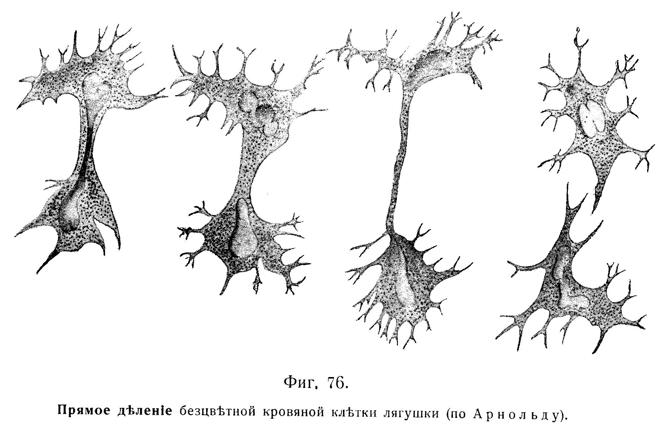 Прямое дѣленіе безцвѣтной кровяной клѣтки лягушки (по Арнольду).