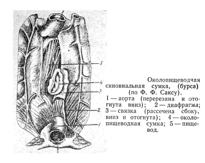 Околопищеводчая синовиальная сумка, (бурса) (по Ф. Ф. Саксу).