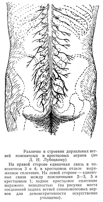 Различие в строении дорзальных ветвей поясничных и крестцовых нервов